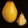 Flora Exotica - Exotic Fruits