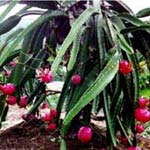 fruits high in fiber dragon fruit tree